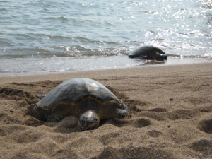 the courage of turtles essay The courage of turtles question 1 the author's purpose of writing this essay is discussing about turtles and their relationship with other animals and human.